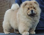 Chow-chow puppy red bitch Astoria Valery Djalo
