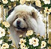 chow-chow kennel Djalo