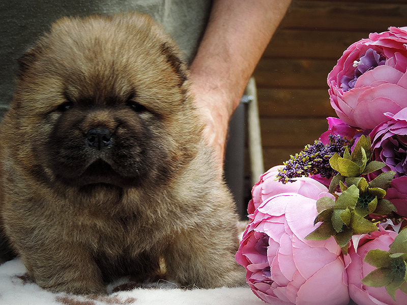 Chow-chow puppy red girl