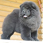 Chow-chow puppy black bitch Blackberry Djalo